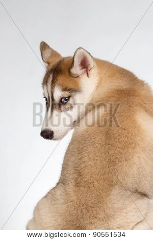 Siberian Husky Puppy Turned Back on White