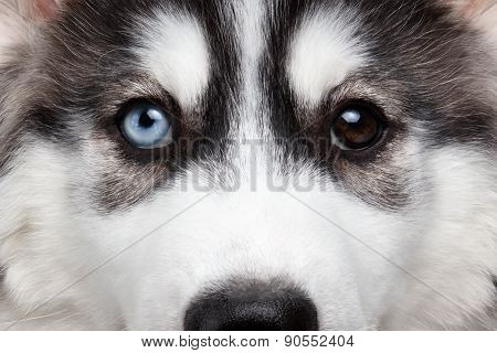 Closeup Siberian Husky Puppy Different Eyes