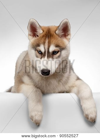 Siberian Husky Puppy Lies on White