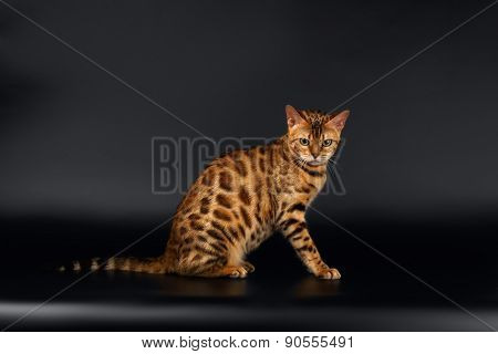 Bengal Cat Sits on Black
