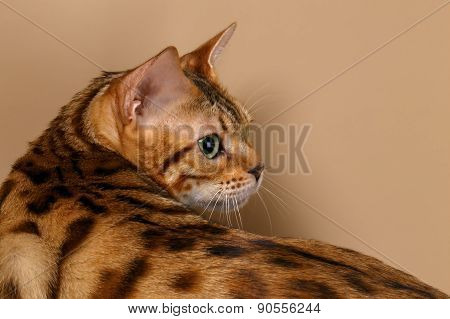Bengal Cat turned Back on Brown