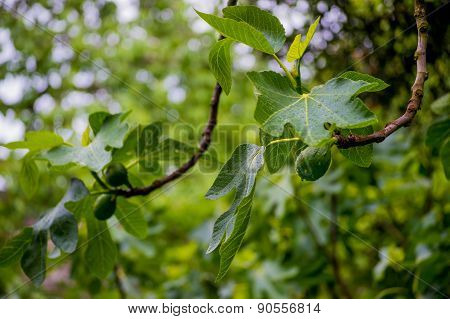 Branches of a fig tree after rain