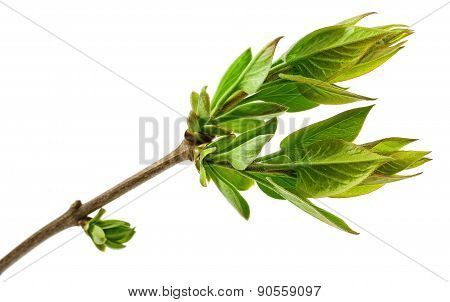 Spring Tree Branch With Fresh Buds Isolated On White