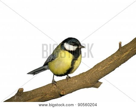 Titmouse On Tree Branch