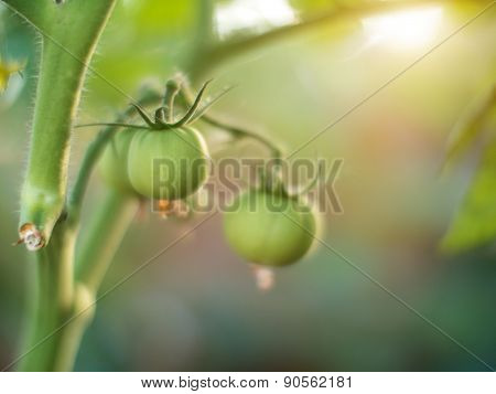 Green tomato plant growing in garden. Macro, very shallow DOF.