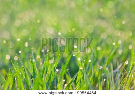 Fresh Background - green grass with drops of dew, soft focus on the front and beautiful bokeh on the  back
