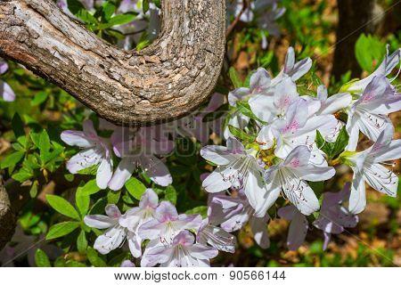 White Azalea Blossoms