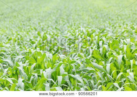 Close Up Green Grass Field