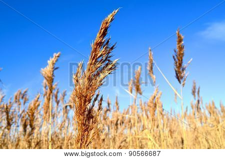 reed thickets