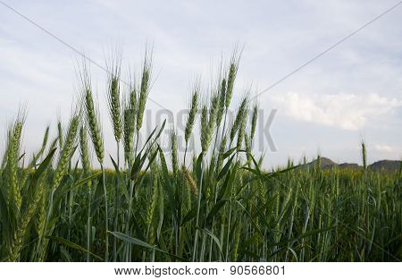 Close Up Wheat Field In Country Side
