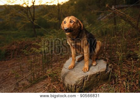 Mixed Breed Ginger Dog Sits on Stone ,Curious Looking