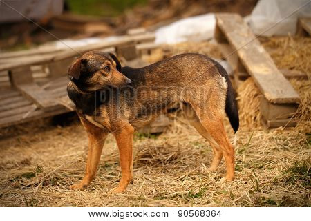 Mixed Breed Ginger Dog  Stands on Manger