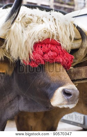 Typical Ox Of Basque Country. Spain