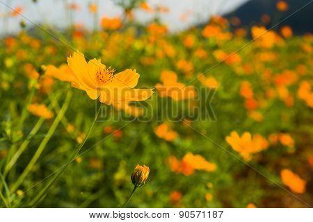 Orange Cosmos Flower In Field