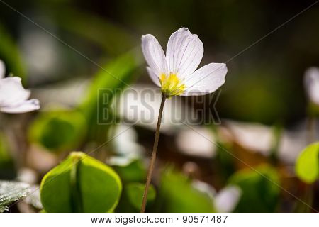 White Wild Flowers Blooming. Wood Sorrel
