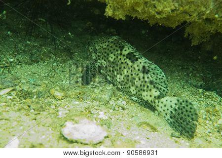 Grouper under a rock