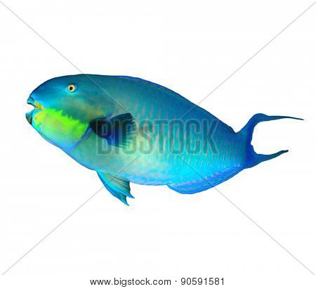 Tropical fish isolated: Parrotfish on white background