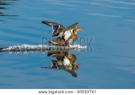 Mallard Landing On Water