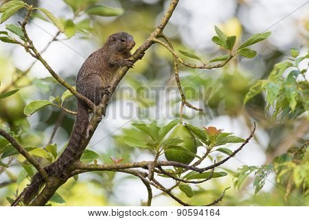 Smith's Bush Squirrel (paraxerus Cepapi) In An Avocado Tree