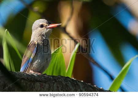 Brown-hooded Kingfisher (halcyon Albiventris) Juvenile Perched In A Tree
