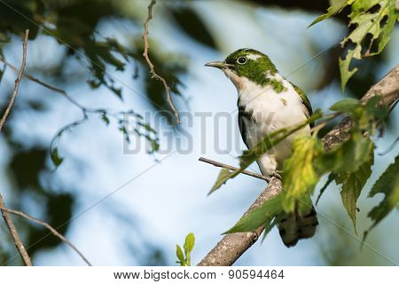 Klaas's Cuckoo (chrysococcyx Klaas) Perched In A Tree With Leaves Eaten By Caterpillars