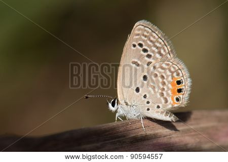 Meadow Blue Lycaenidae (cupidopsis Cissus) Resting On A Dried Blade Of Grass