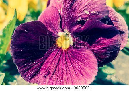 Flower - Viola
