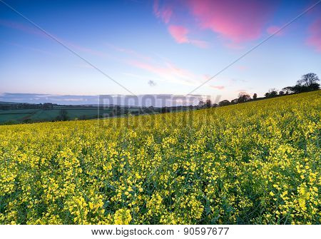 Sunrise Over Mustard Seed Fields