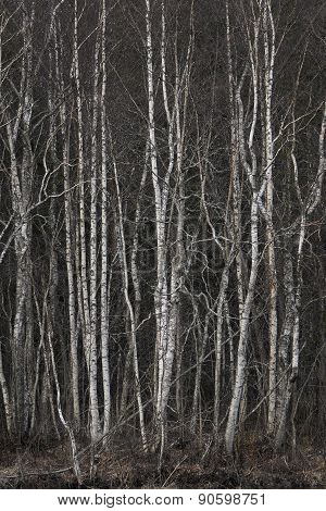 Grove Of Bare Birch Trees