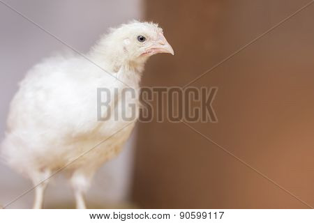 Adolescent Chicken