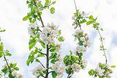 picture of apple tree  - Apple tree blooming in springtime - JPG