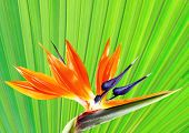 picture of bird paradise  - bird of paradise flower with palm leaf background - JPG