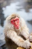 picture of macaque  - Male snow monkeys Japanese macaque bathe in onsen hot springs of Nagano - JPG