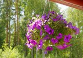 pic of petunia  - bouquet of flowers in a pot hanging Petunia  in the courtyard in summer sunny day                          - JPG