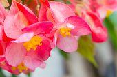 pic of begonias  - Angel Wing Begonia flowers A beautiful flower - JPG
