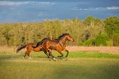 image of wild horse running  - two brown horses are running in the green field - JPG