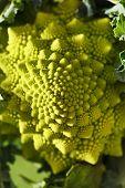 pic of romanesco  - Romanesco broccoli - JPG