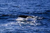 picture of whale-tail  - Sperm whale tail before dive into deep ocean - JPG