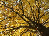 foto of bute  - Golden Leaves on a tree in Bute Park - JPG