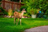 picture of mule  - Wild mule deer strides in suburban backyard - JPG