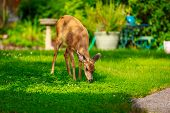 foto of mule  - Wild mule deer strides in suburban backyard grazing on the lawn - JPG