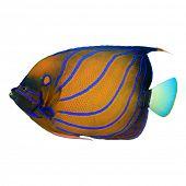 stock photo of angelfish  - Tropical fish isolated - JPG