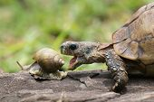 picture of tortoise  - A Hinge tortoise form Malawi attacking a Giant African Land Snail - JPG