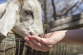 image of feeding  - Feeding a small goat at a petting zoo in early spring - JPG