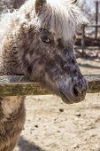 stock photo of pony  - Grey pony with thick fur and silver mane looks over his fence in this farm portrait - JPG