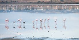 picture of larnaca  - Group of beautiful flamingo birds with reflections walking at the Salt lake of Larnaca in Cyprus - JPG