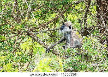 Tufted Grey Langur In Yala, Sri Lanka