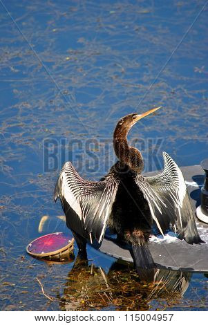 Snakebird Latin name Anhinga anhinga drying feathers after diving