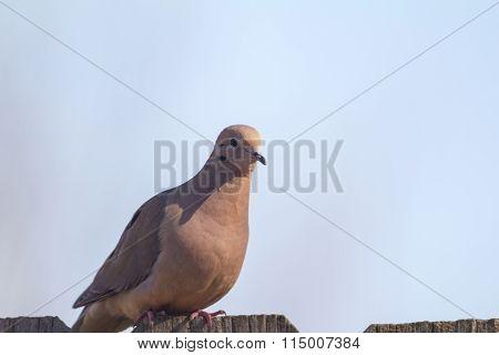 Mourning Dove (zenaida Macroura)
