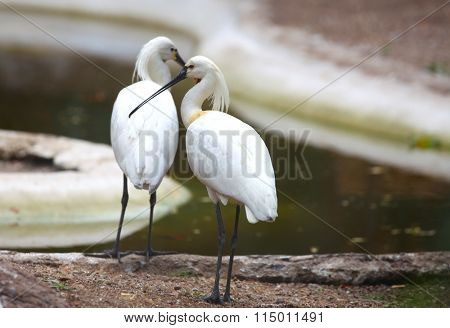 Two spoonbill birds near the pond